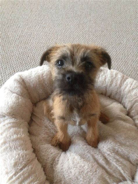 border terrier puppies 17 best ideas about border terrier on border terrier puppy terriers and