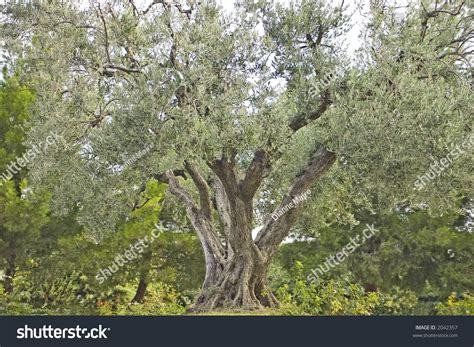 majestic old olive tree landscaped setting stock photo
