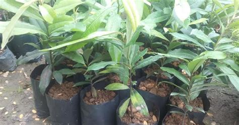 bumi hijau nursery   benih pokok mentega