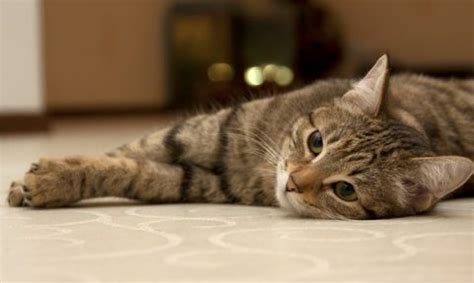 how to get a and cat to get along the real cost of owning a pet cat moneysupermarket