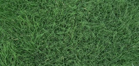 growing couch grass from seed guide to growing buffalo grass cooyar grass seeds