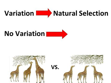 what is natural section variation natural selection 18116 notefolio