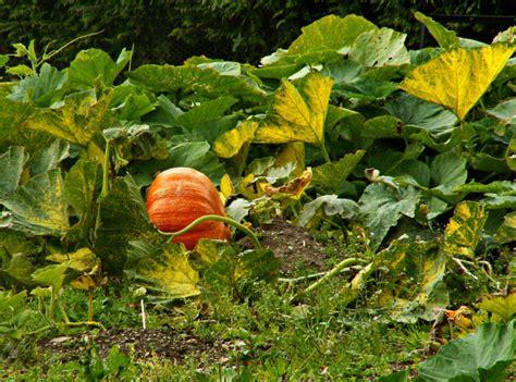 Plant Vegetable Garden Pumpkin Garden Png Hi Res 720p Hd Things To Plant In A Vegetable Garden