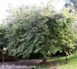 Flowering Japanese Trees - bauhinia blakeana hong kong orchid tree toptropicals com