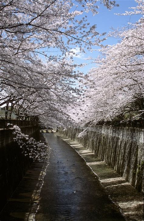 6608 cherry tree 7 best images about itabashi on canada memories and tokyo