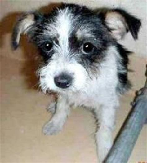 white yorkie mix shoo is an adoptable terrier yorkie in mckinney tx my name is