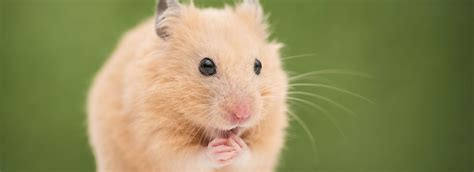 7 Tips On Taking Care Of Hamsters by Hamster Care Sheet Guide Petsmart