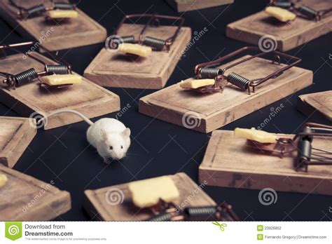 mouse benching mouse trap multiple mouse traps with cheese stock photography image