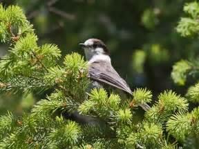 summer birds in the oregon coast range pacific nw birder