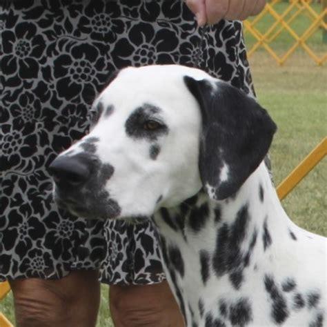 dalmatians puppies dalmatian puppies dca member breeder litter listings dalmatian