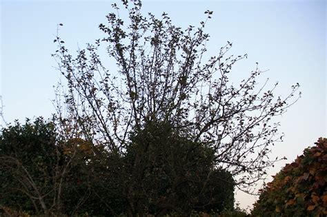 apfelbaum garten ein apfelbaum im garten in kohlscheid bank in der
