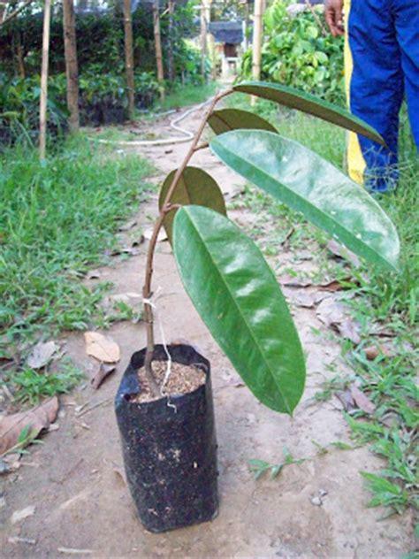 Paket 3 Batang Bibit Buah Durian Montong Mangga Irwin Kelengkeng Aroma athifa agro usaha dan budi daya bibit tanaman