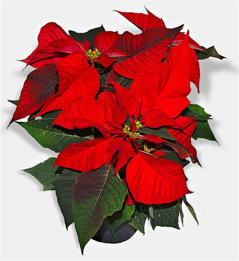 christmas plants poinsettia wikipedia