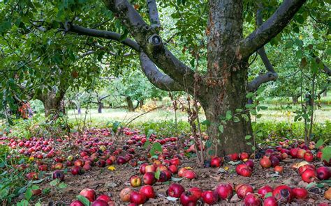 apple wallpaper hd nature apple nature hd picture free download gamefree download game