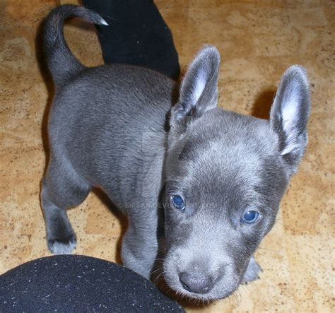 wallpaper for xolo black blue coated xolo pup by bipsan on deviantart