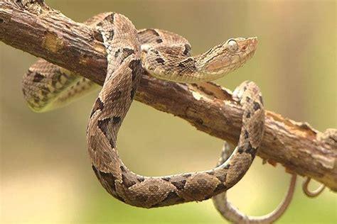 serpiente terciopelo bothrops asper habitat dieta  algo mas