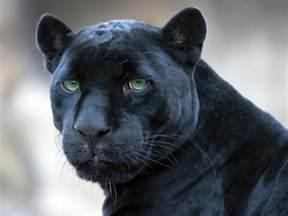 Is A Jaguar The Same As A Panther Jaguar Black Panther Wallpaper 1920x1440 476081