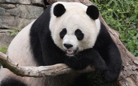 Masker Animal Snp Mask Gambar Hewan Panda Otter Tiger panda smithsonian s national zoo