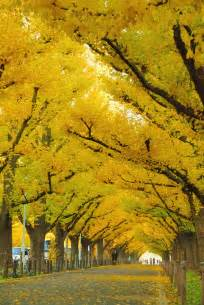 awe inspiring trees 15 ginkgo tree tunnel japan