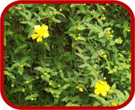 pianta con fiori gialli piante con fiori gialli