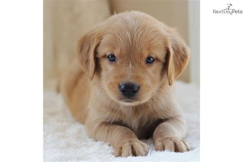free golden retriever pups free golden retriever puppies search engine at search