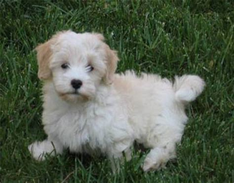 havanese breed havanese puppies for sale puppy island