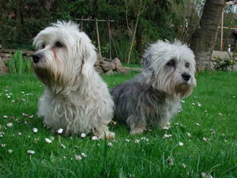 puppy dandie dinmont terrier puppy for your birthday dandie dinmont terrier puppies rescue pictures