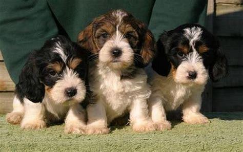 pbgv puppies 1000 images about petit basset griffon vend 233 en dogs on 16th century