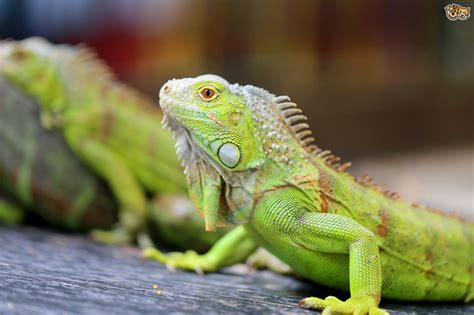 can you ever really tame a pet iguana pets4homes