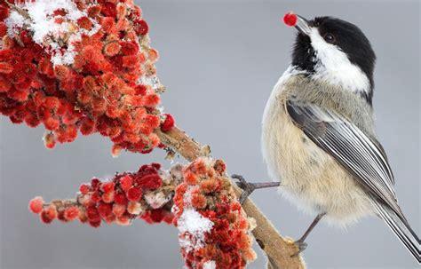 chickadee mating calls hinterland who s who birds