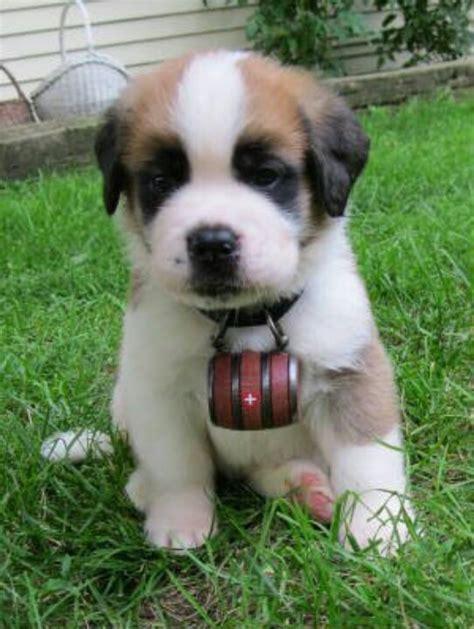 st benard puppies baby st bernard puppies