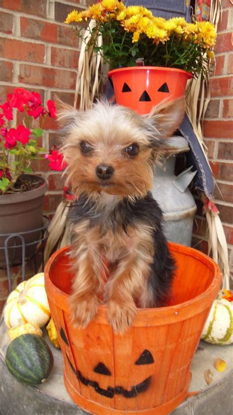 yorkie food allergy symptoms remington my tiny yorkie celebrating fall in a new home thanks to
