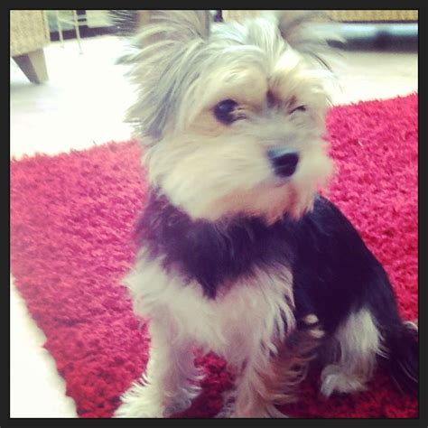large yorkie breed yorkie cross breeds breeds picture