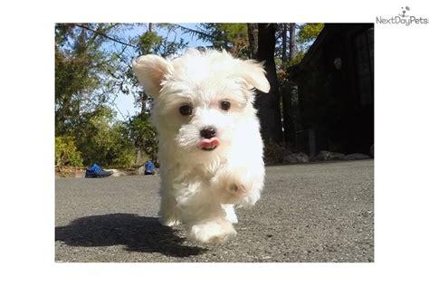 maltese puppies for sale bay area maltese puppy for sale near san francisco bay area california ef365032 3551