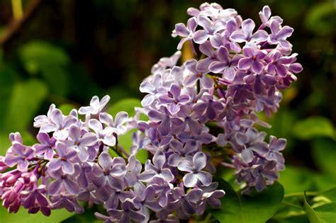 cespuglio con fiori viola foto gratis viola petali primavera vegetazione lilla