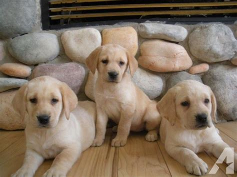 lab and golden retriever mix puppies for sale goldar puppies lab golden retriever mix the mix for sale in arboga