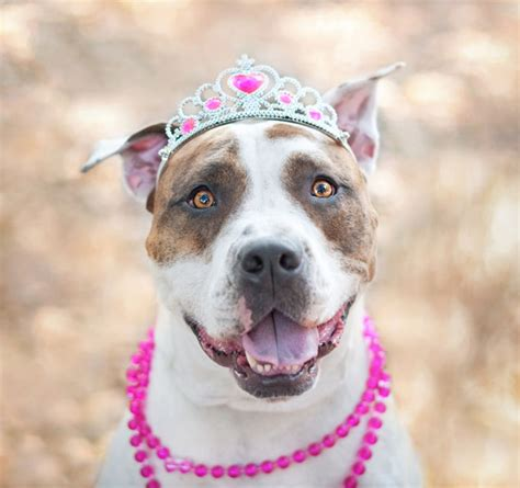 Why Do Pitbulls Shed by 12 Reasons Why You Should Never Adopt A Pit Bull Page 2 Of 14 Icepop