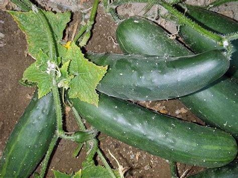 Sellery 21 760 Mesin Gravir gurke marketmore 76 feldgurke gurken bio samen