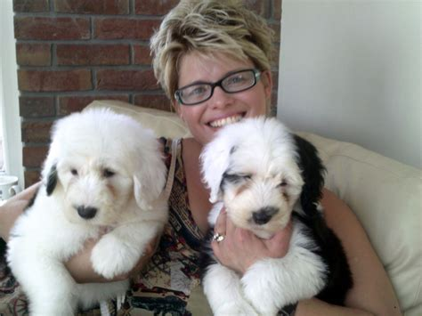 puppy classifieds sheepdog puppies own the best whitland carmarthenshire pets4homes