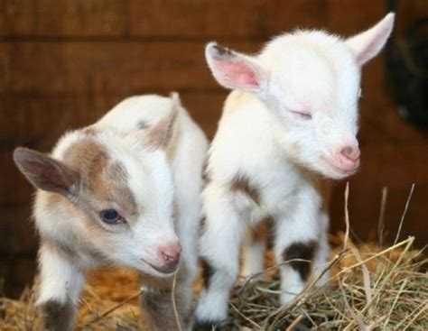 The Best Kitchen Knives by How To Raise A Baby Goat To Grow Up Big Amp Strong