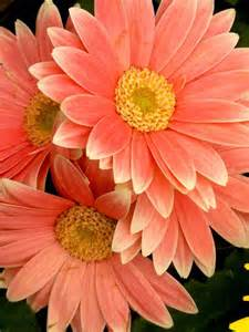 what color are daisies gerberas orange and coral