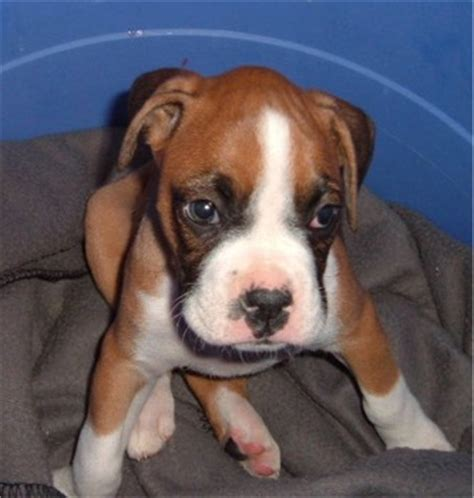 6 week boxer puppy six weeks boxer puppy look like yahoo answers