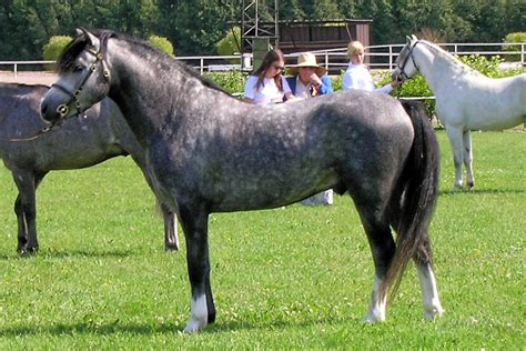 welsh section d characteristics welsh pony and cob wikipedia