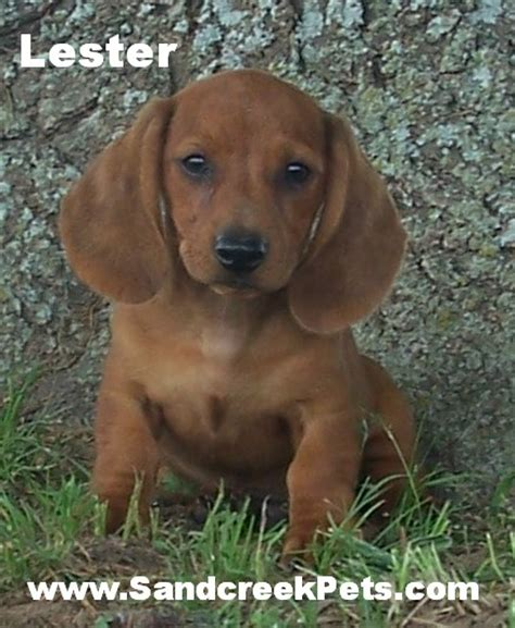 dachshund puppies oklahoma dachshund puppies for sale in oklahoma breeds picture