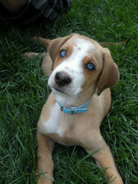 labrador husky puppies 25 best ideas about husky lab mixes on labrador husky labrador mix and