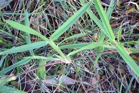scientific name of couch grass buffalo grass weed identification brisbane city council