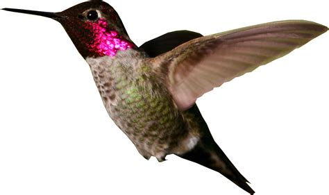 hummingbird large