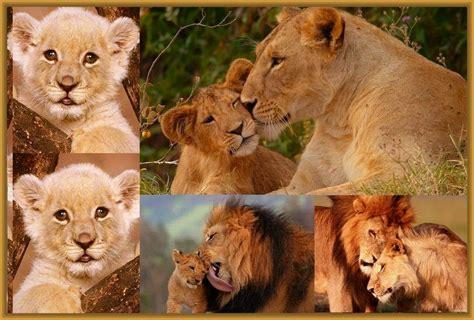 Imagenes De Leones Con Sus Cachorros | imagenes de leones con sus cachorros archivos imagenes