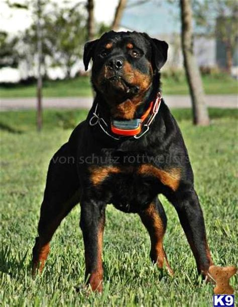 rottweiler bully rottweiler on bully max www pixshark images galleries with a bite
