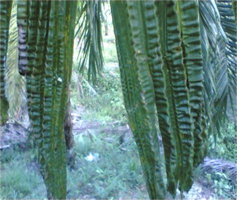 Pupuk Daun Boron konsultasi sawit gejala kekurangan pupuk tanaman kelapa sawit